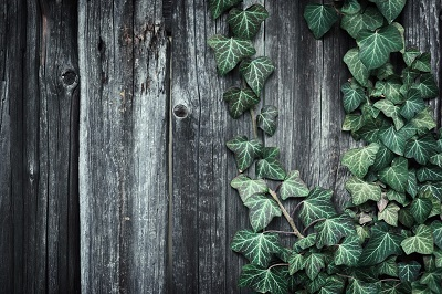 Ivy Covered Trees, Fences, Homes – Yay or Nay?