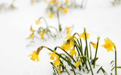 Wordless Wednesday – Daffodils in Winter!
